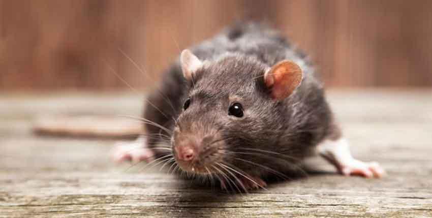 Refranes de ratones
