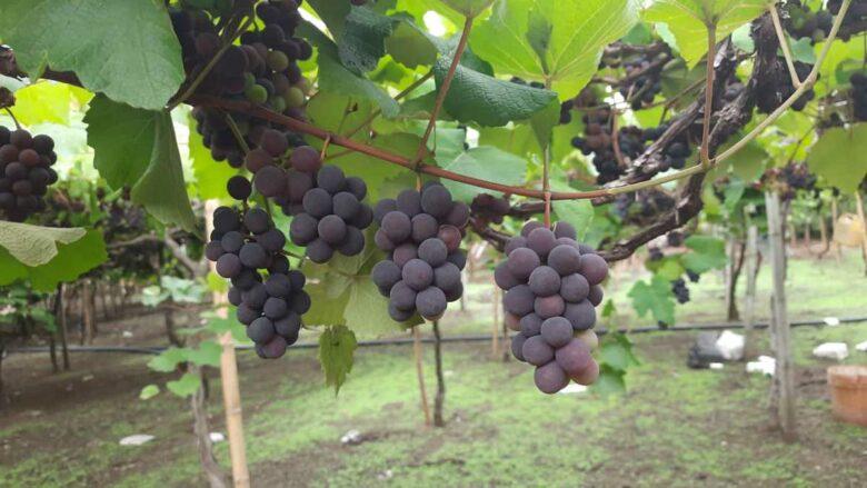 El café de la historia - Refranes de uvas